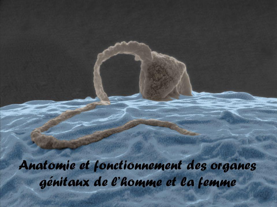 Anatomie et fonctionnement des organes génitaux de l'homme et la femme .PDF