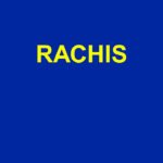 RACHIS .PDF