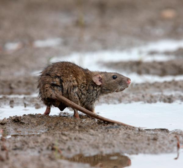 5 types de maladies transmises par les rats aux hommes