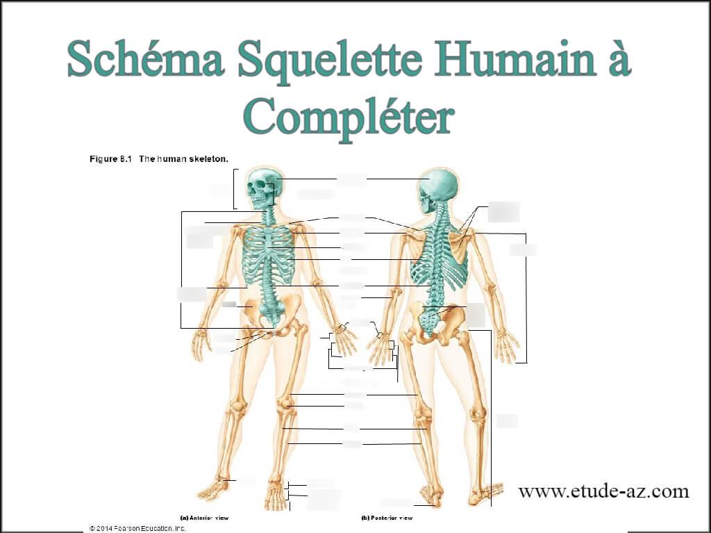 Schéma squelette humain à compléter pdf