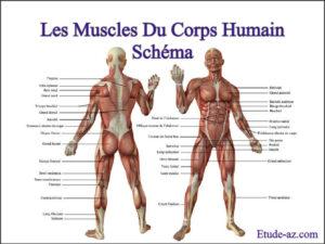les muscles du corps humain schéma pdf